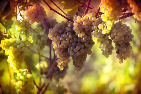 Vineyards at sunset in autumn. Ripe bunches of wine grapes in fall Фото со стока