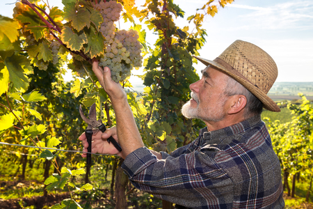 wineyard: Vintner in straw hat examining the grapes during the vintage Stock Photo