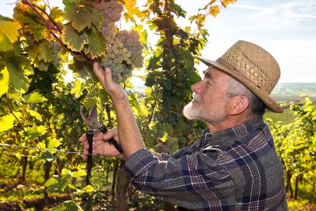Wijnboer in strohoed behandeling van de druiven tijdens de oogst Stockfoto