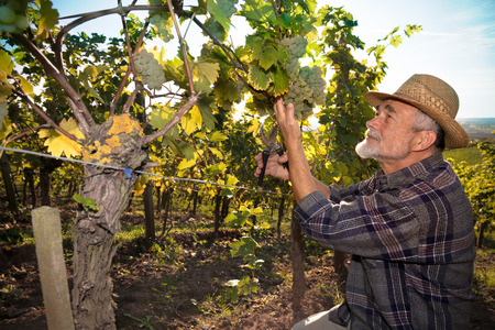 wine grower: Vintner picking grapes with shear at harvest time in the sunshine