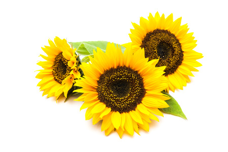 Yellow sunflowers isolated on the white background Imagens