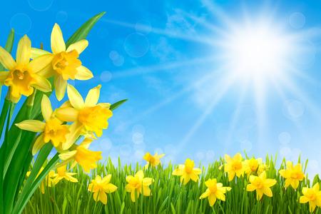 Fiori di primavera narciso in erba verde contro il sole e cielo blu
