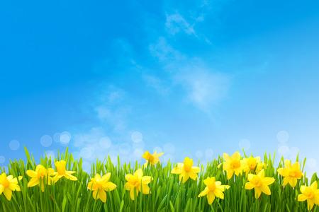 jardines flores: Narcisos flores de primavera en la hierba verde contra el cielo azul soleado