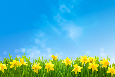 meadow: Spring narcissus flowers in green grass against sunny blue sky