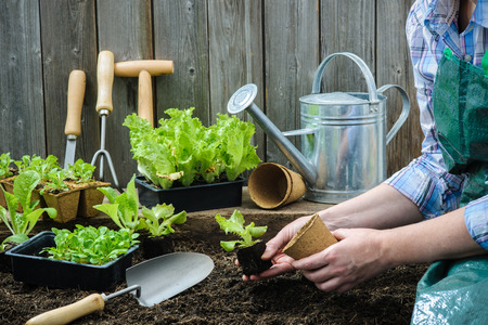 invernadero: Agricultor siembra de plántulas de lechuga en el huerto