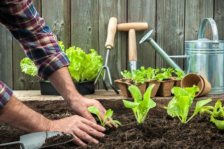 legumes: Agriculteur plantation de jeunes plants de salade de laitue dans le potager Banque d'images