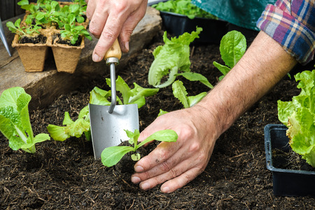 plant seed: Farmer planting young seedlings of lettuce salad in the vegetable garden