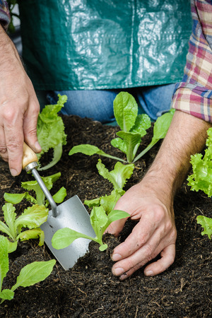 garden tool: Farmer planting young seedlings of lettuce salad in the vegetable garden