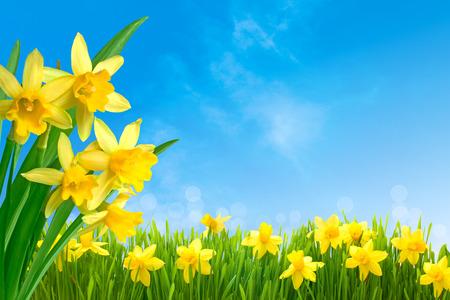 Fiori di primavera narcisi in erba verde contro il cielo blu soleggiata