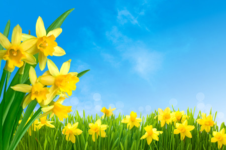 Spring narcissus flowers in green grass against sunny blue sky photo