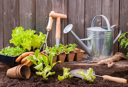 Seedlings of lettuce with gardening tools outside the potting shed Archivio Fotografico