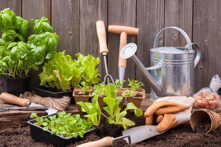 Zaailingen van sla met tuingereedschap buiten het tuinschuurtje Stockfoto