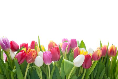 흰색 배경에 봄 튤립 꽃