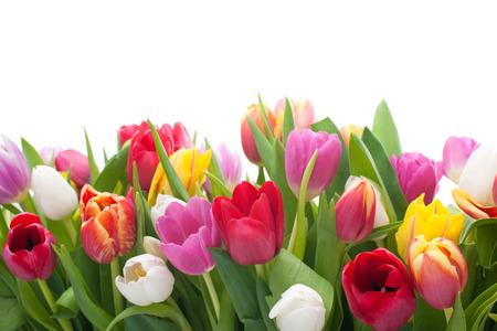 白色背景上盛开着春天的郁金香