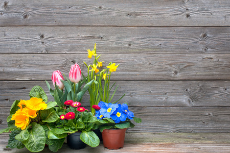 Potted plants: spring flowers in pots on wooden background. Tulips, primulas, daffodils