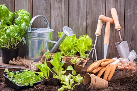 jardineros: Las plántulas de lechuga con herramientas de jardinería fuera del cobertizo Foto de archivo