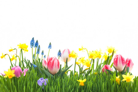 jardines con flores: Flores de primavera en la hierba verde aislado sobre fondo blanco