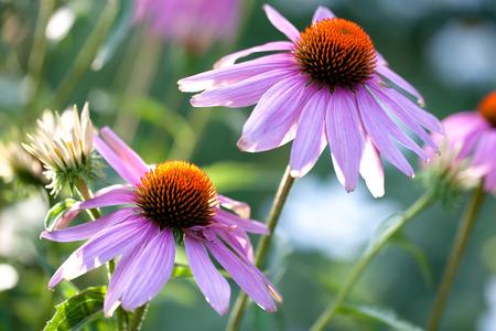 Echinacea flores que crecen en el jardín
