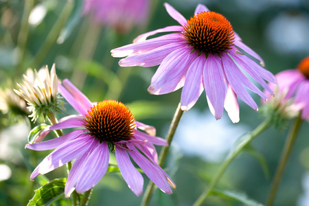 Echinacea flowers growing in the garden