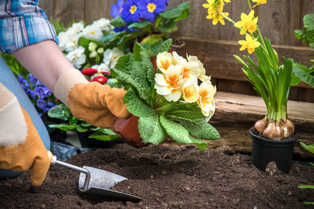 gardening: Gardener planting flowers in pot with dirt or soil at back yard