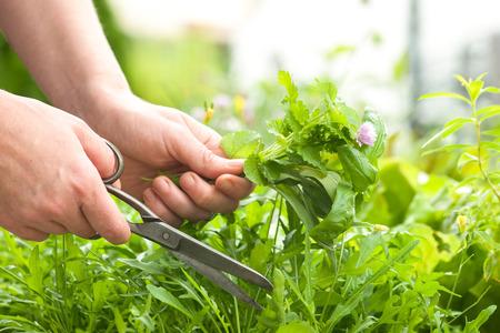 Vrouw verzamelt verse kruiden in de tuin