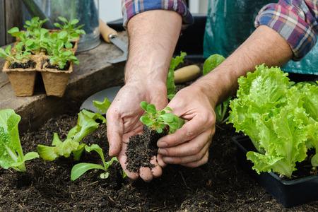 l�gumes verts: Agriculteur plantation de jeunes plants de salade de laitue dans le potager Banque d'images