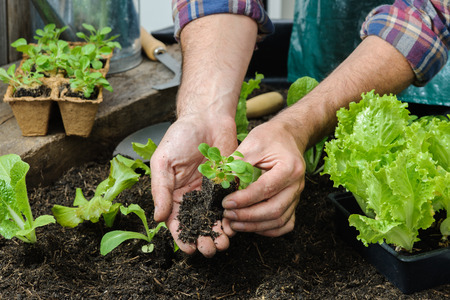 vegetable plants: Farmer planting young seedlings of lettuce salad in the vegetable garden