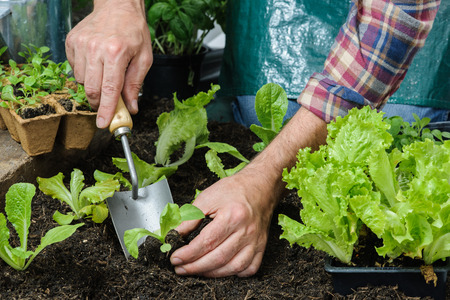 home garden: Farmer planting young seedlings of lettuce salad in the vegetable garden