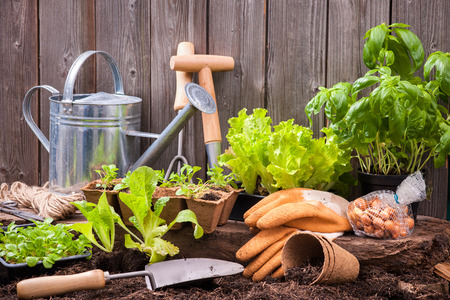 home garden: Seedlings of lettuce with gardening tools outside the potting shed Stock Photo