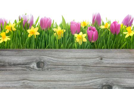 あなたのメッセージをコピー スペースで春のチューリップおよびラッパスイセンの花