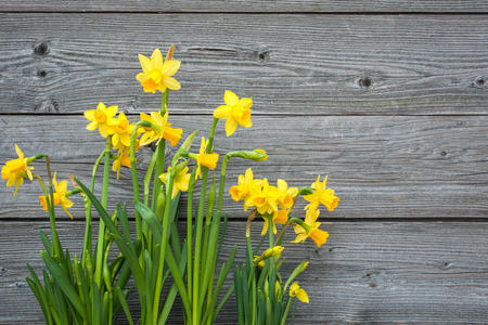 easter flowers: Spring daffodils against old wooden background