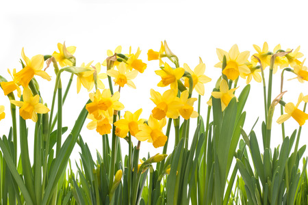 Yellow daffodils isolated on white background Stock Photo
