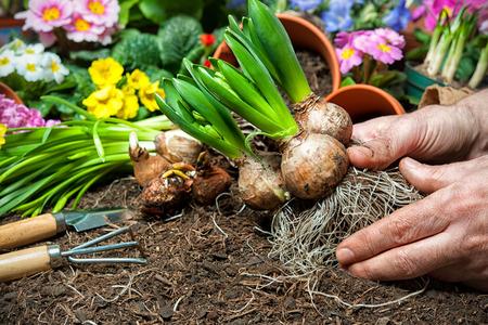 regar las plantas: Gardener plantar flores en maceta con suciedad o el suelo en el patio trasero Foto de archivo