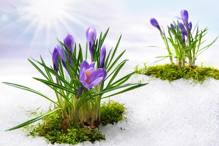 flores moradas: azafranes de primavera en la nieve de fusi�n Foto de archivo