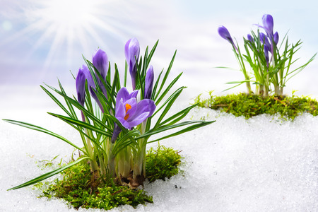 blue flowers: spring crocuses in melting snow