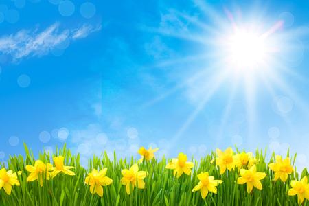 borde de flores: Narcisos flores de primavera en la hierba verde contra el cielo azul soleado