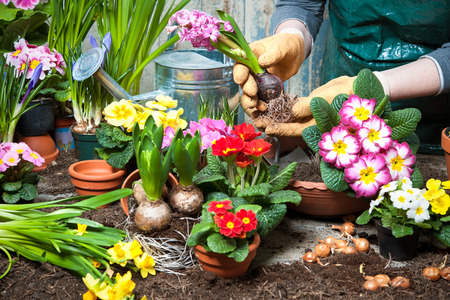back yard: Gardener planting flowers in pot with dirt or soil at back yard
