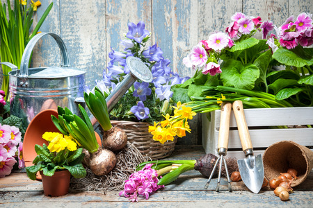 Potted plants: Gardener planting spring flower Stock Photo