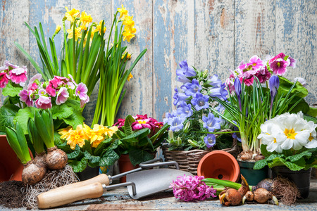 to plant: Gardener planting spring flower Stock Photo