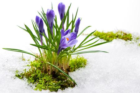 moos: spring crocuses in melting snow