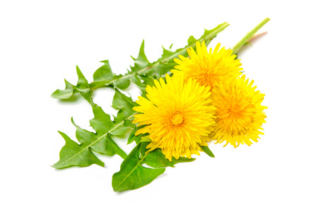 nutritional therapy: Healing plants. Dandelion isolated on white background