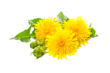 healing plant: Healing plants. Dandelion isolated on white background