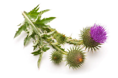 botanical remedy: Milk Thistle plant (Silybum marianum) herbal remedy. Scotch thistle, Cardus marianus, Blessed milk thistle, Marian Thistle, Mary Thistle, Saint Marys Thistle