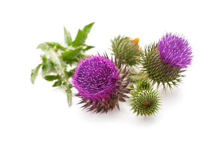 Milk Thistle planten (Silybum marianum) kruidenmiddel. Scotch distel, Cardus marianus Gezegend mariadistel, Marian Distel, Mary Thistle, Saint Mary's Thistle