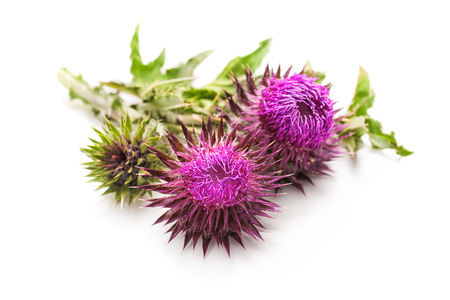 thistle: Milk Thistle plant (Silybum marianum) herbal remedy. Scotch thistle, Cardus marianus, Blessed milk thistle, Marian Thistle, Mary Thistle, Saint Marys Thistle