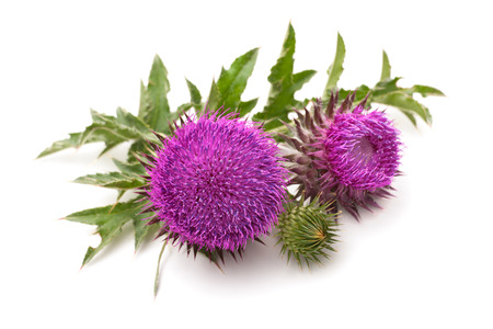 flower close up: Milk Thistle plant (Silybum marianum) herbal remedy. Scotch thistle, Cardus marianus, Blessed milk thistle, Marian Thistle, Mary Thistle, Saint Marys Thistle