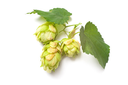 Green hop plant isolated on white background Stok Fotoğraf