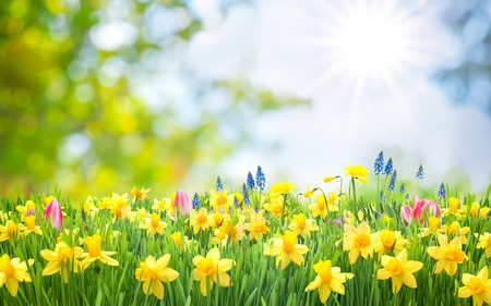 sunlight: Spring Easter background with beautiful yellow daffodils