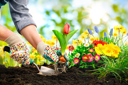 protective gloves: Gardeners hands planting flowers at back yard
