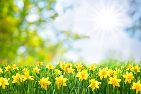 아름다운 노란색 수선화 봄 부활절 배경